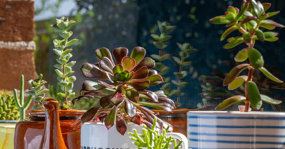 OC Succulents - succulents in brightly lit window