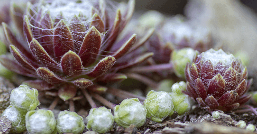 oc succulents sempervivum succulent