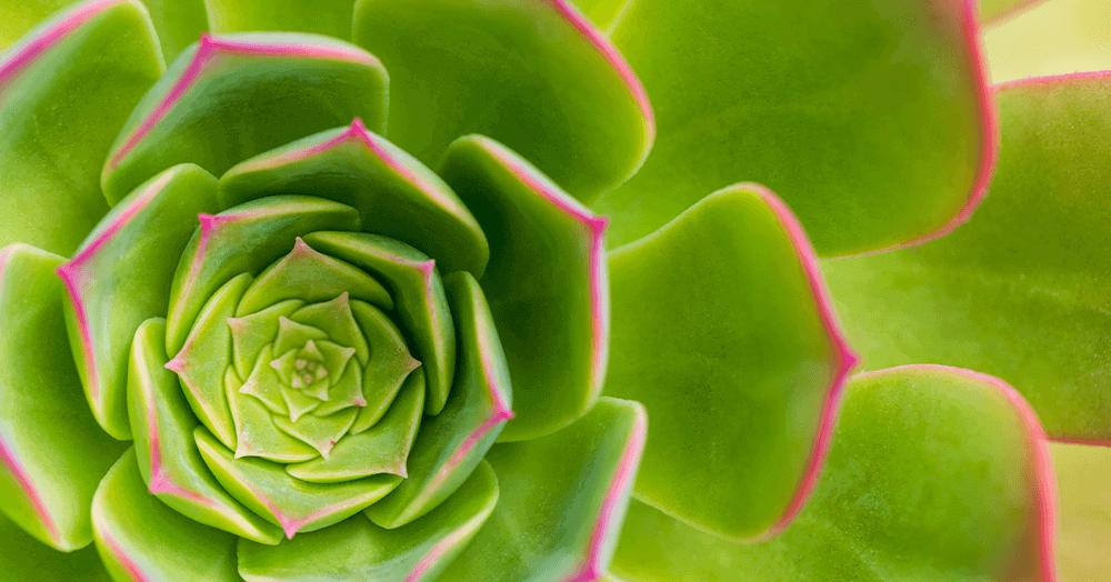 echeveria succulent oc succulents