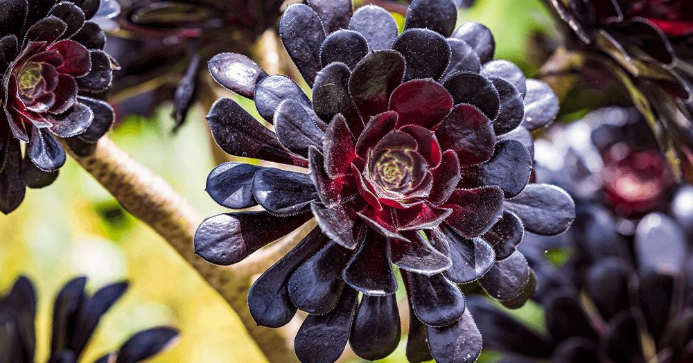 aeonium zwartkop oc succulents