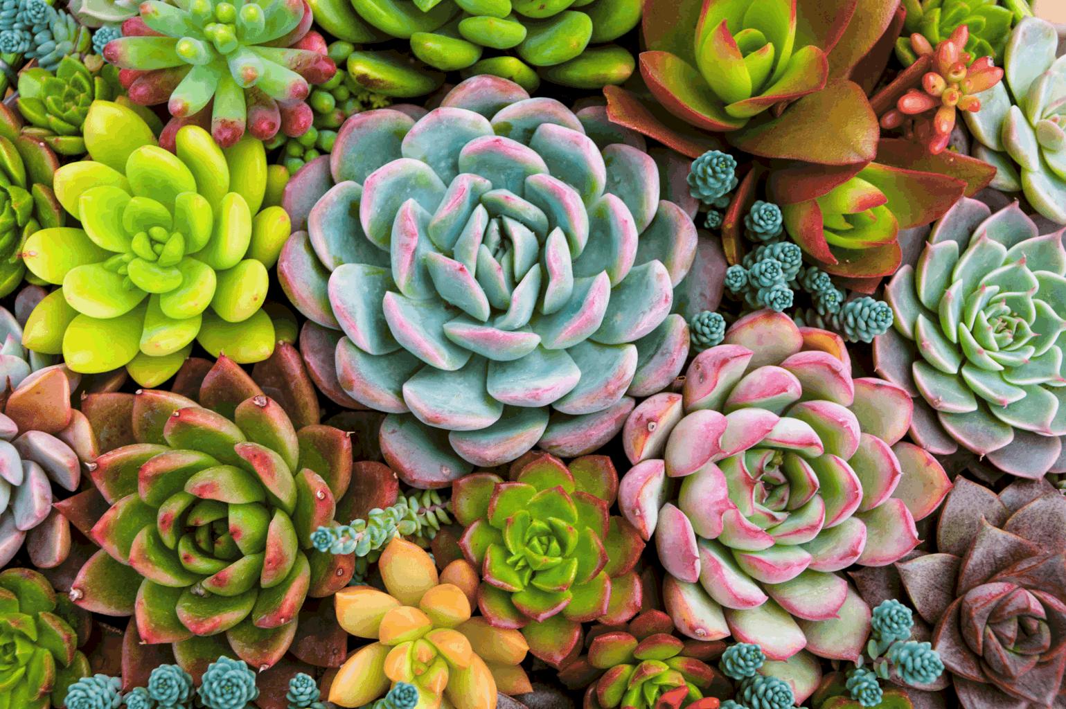 OC Succulents colorful succulent plants