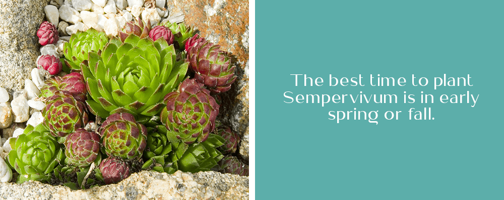 OC Succulents image quote: The best time to plant Sempervivum is in early spring or fall.