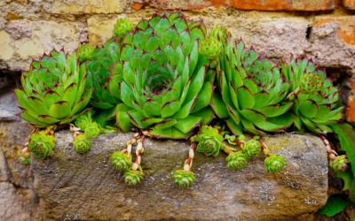Bringing Home Hens and Chicks: Sempervivum Plant Care